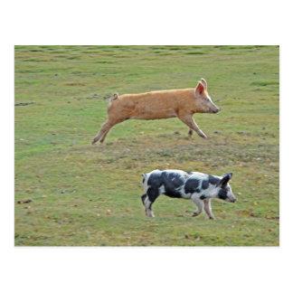 Flying pigs postcard