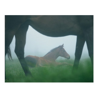 Foal Framed by its Mother Postcard