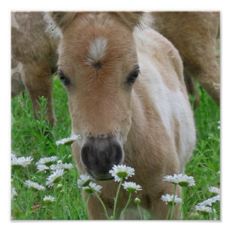 Foal Smelling Daisies Canvas Print