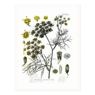 Foeniculum capillaceum(fennel) postcard