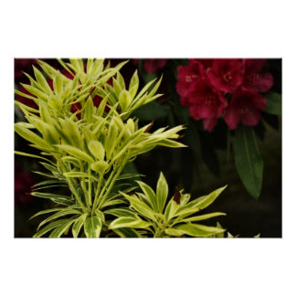 Foliage with red Rhodie Posters
