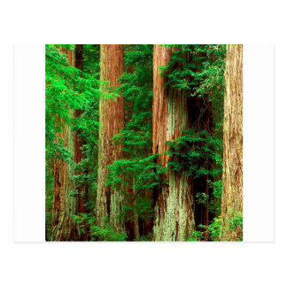 Forest Ancient Giants Big Basin Redwood Park Postcard