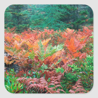 Forest Colorful Ferns In Autumn Acadia Maine Square Sticker