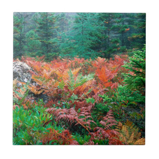 Forest Colorful Ferns In Autumn Acadia Maine Tile