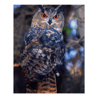 Forest Eagle Owl, Bubo bubo, Native to Eurasia 2 Poster