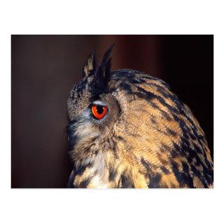 Forest Eagle Owl, Bubo bubo, Native to Eurasia Postcard