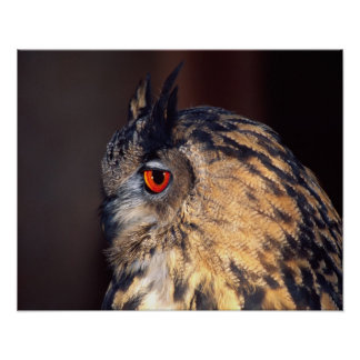 Forest Eagle Owl, Bubo bubo, Native to Eurasia Poster