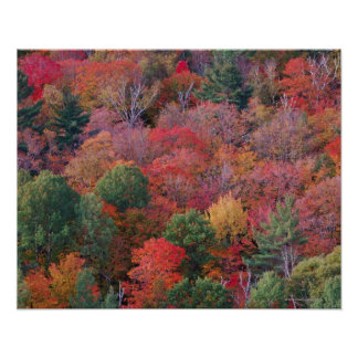 Forest in autumn with fall foliage.  Algonquin Poster