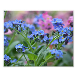 Forget-me-not flowers photo print