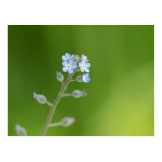 Forget-me-not Flowers Postcard