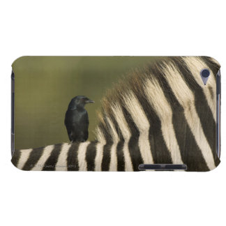 Fork-Tailed Drongo (Dicrurus adsimilis) riding Case-Mate iPod Touch Case