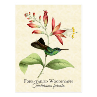 Fork Tailed Wood Nymph Hummingbird Art Postcard