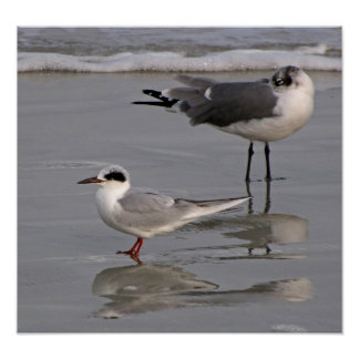 Forster s Tern and Gull Print