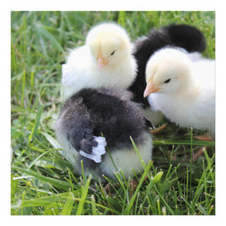 Four Black and Yellow Baby Chicken chicks Art Photo