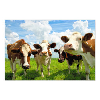 Four chatting cows art photo