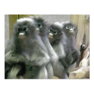 Four Cute and Inquisitive Dusky Leaf Monkeys Postcard