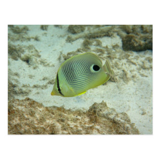Four-eyed Butterfly fish Postcard