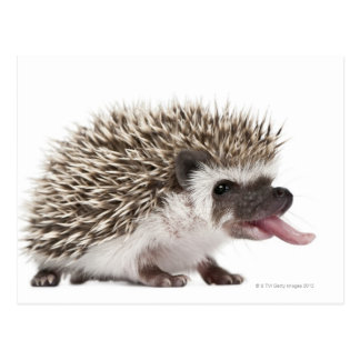 Four-toed Hedgehog - Atelerix albiventris Postcard