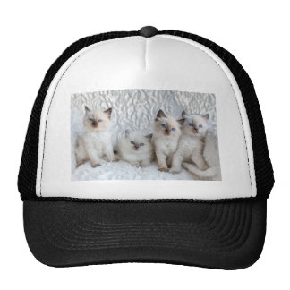 Four young Ragdoll cats sitting in a row Cap