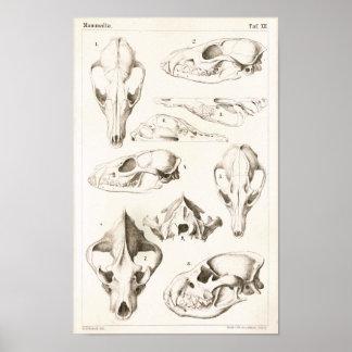 Fox and Hyena Skulls Veterinary Anatomy Print