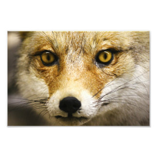 Fox Face Photo Print