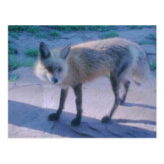 Fox on Porch Postcard
