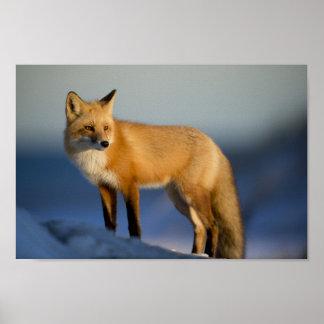 fox poster, foxy decor, fox cub gifts poster