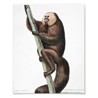 Fox Tailed Monkey Vintage Drawing Photo Print