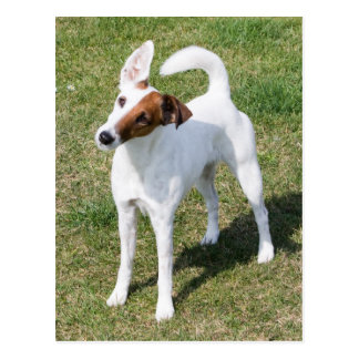 Fox Terrier Smooth dog beautiful photo postcard