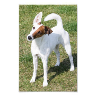 Fox Terrier Smooth dog beautiful portrait photo