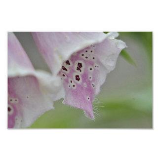 Foxglove flower photo