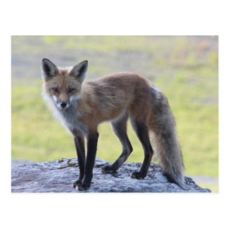 Foxy Momma Post Cards