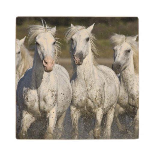 France, Camargue. Horses run through the 2 Maple Wood Coaster