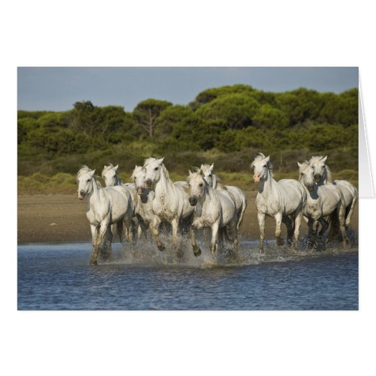 France, Camargue. Horses run through the estuary 3 Card