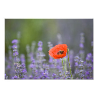 France, Provence. Lone poppy in field of Photo Art