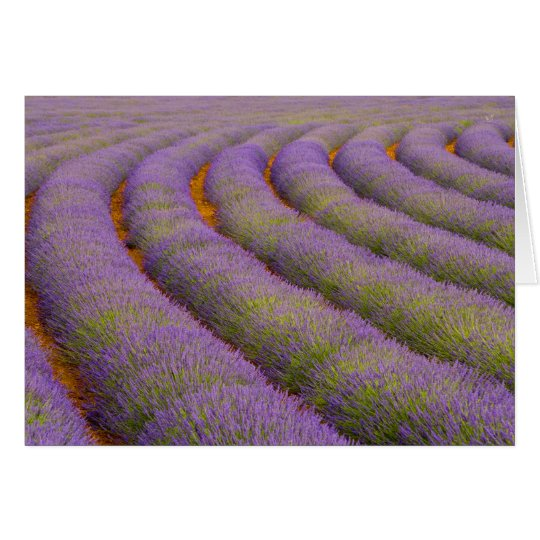 France, Provence region. Curved rows of Card