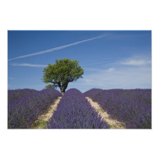 France, Provence. Rows of lavender in bloom. 4 Poster
