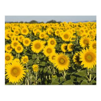 France, Provence, Valensole. Field of Postcard