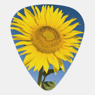 France, Provence, Valensole. Sunflowers stand Plectrum