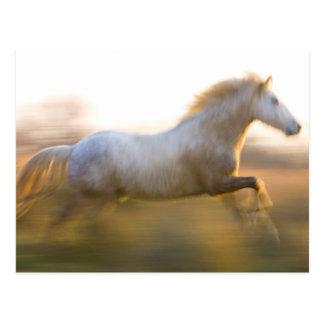 France, Provence. White Camargue horse running. Postcard