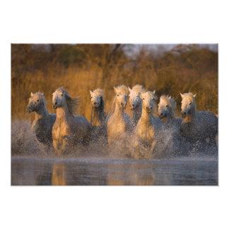 France, Provence. White Camargue horses Photograph