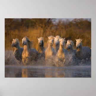 France, Provence. White Camargue horses Poster
