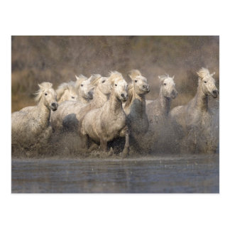 France, Provence. White Camargue horses running Postcard