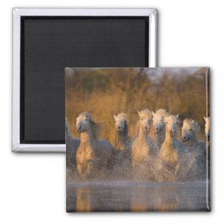France, Provence. White Camargue horses Square Magnet
