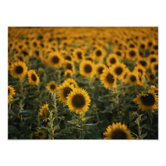 France, Vaucluse, sunflowers field Poster