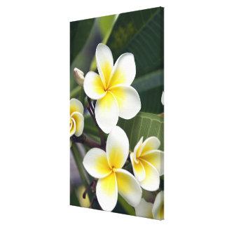 Frangipani flower Cook Islands Stretched Canvas Print