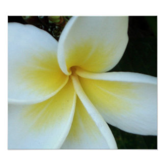 Frangipani flower posters