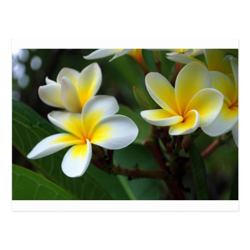 Frangipani_flowers.jpg Postcards