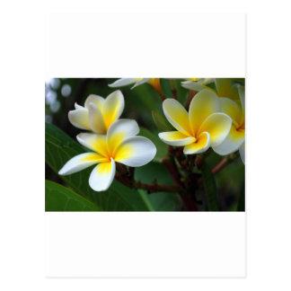 Frangipani_flowers.jpg Postcard