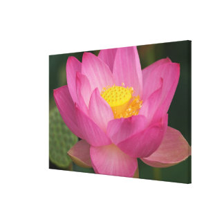 Franklin NC, Perry's Water Garden, Lotus 2 Canvas Print